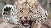 Conviction for leopard skin